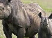 cierto rinocerontes apagan fuegos?
