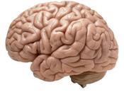 Datos curiosos sobre cerebro