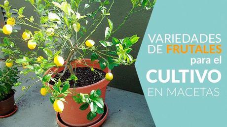 Rboles frutales que se pueden cultivar en macetas paperblog for Arboles frutales en maceta