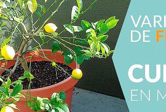 Rboles frutales que se pueden cultivar en macetas paperblog - Plantar arboles frutales en macetas ...