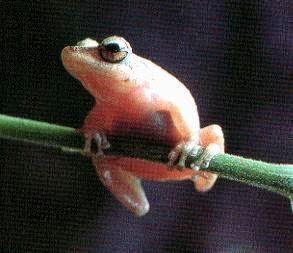 Coqui-Coqui, the little frog