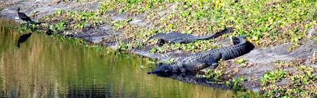 Alligators en el Myakka River
