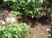 Lilo, Lila (syringa vulgaris)