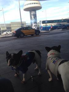 mibulldogfrances-viaje-avion3