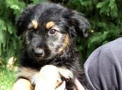 Precioso cachorro cruce pastor belga adopción.