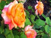 Tratar manchas negras rosales