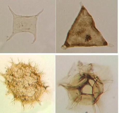 Algunos acritarcos que muestran la diversidad de formas dentro del grupo. Imágenes de la UCL.