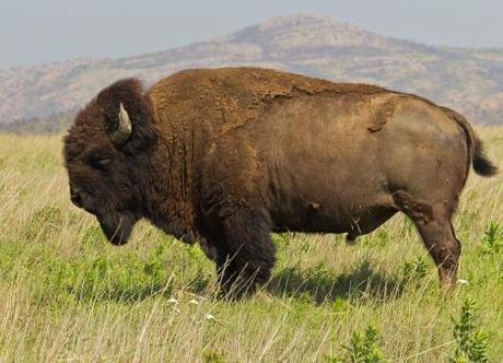 Bisontes vs Búfalos