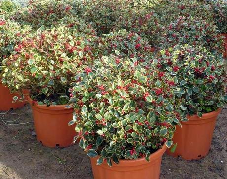 Plantas para navidad paperblog - Plantas exterior todo el ano ...