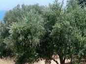 olivo Mediterráneo