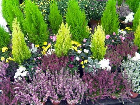 Cuidados del jard n en diciembre paperblog for Coniferas de jardin