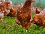 ¿Qué significa soñar gallinas?