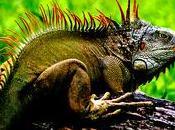 Iguana verde iguana