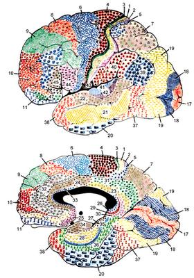 Un siglo del mapa cerebral de Brodmann