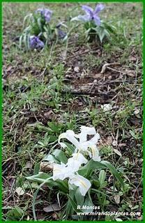 Un Iris planifolia hipocromático, o lirio