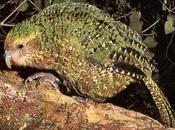 curioso Loro Kakapo