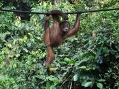 Aqui están Orangutanes