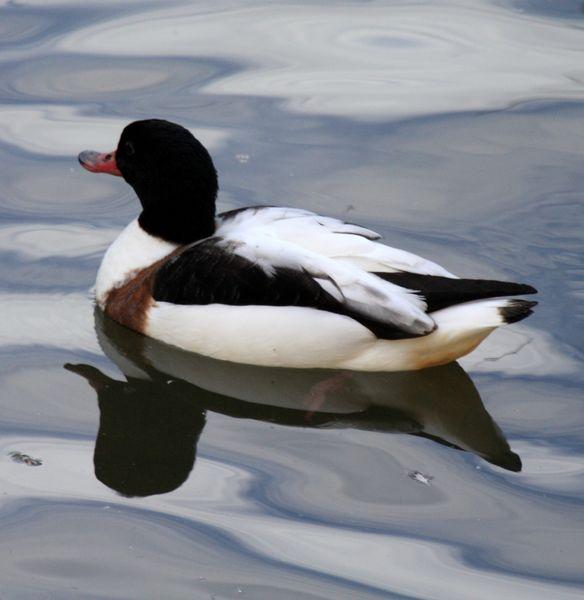 TARRO BLANCO-TADORNA TADORNA-COMMON SHELDUCK