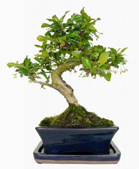 Bonsai un rbol en maceta paperblog - Cultivo de bonsai ...