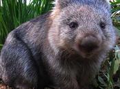 Uombat Wombat Conoce todo sobre estos marsupiales