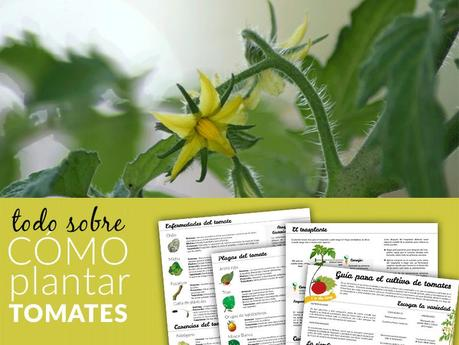 C mo plantar tomates paperblog - Cuando plantar tomates ...