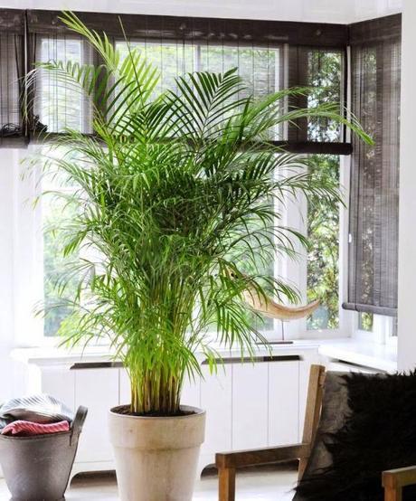 Plantas de interior para tu hogar paperblog for Palmeras plantas de interior