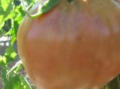 Cultivando tomate corazón buey