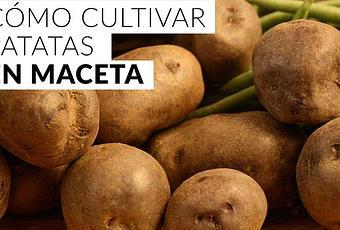 C mo cultivar patatas en maceta paperblog for Como cultivar patatas