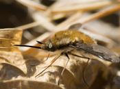 Bombylius major (Linnaeus, 1758)
