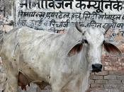 Vacas sagradas India