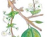 Flores Bach: Cherry plum/ Cerasifera /Cerezo