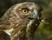 Localizan primera águilas culebreras grupo Estrecho