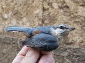 """Llegan primeras lluvias """"primaverales"""", pero pequeñas aves migradoras..."""