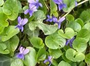 violeta silvestre propiedades