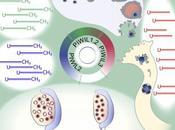 Origen vírico-simbiogenético ovocito humano