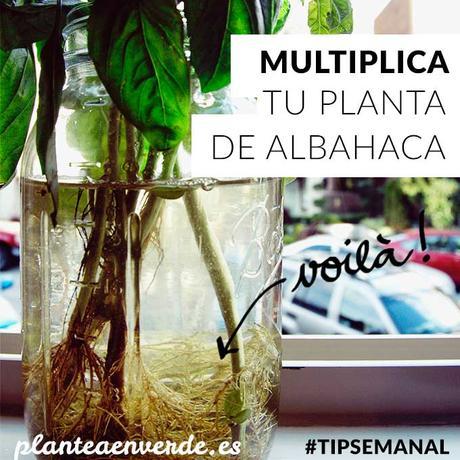 10 consejos para iniciar un huerto de plantas arom ticas for Cultivo de albahaca en interior