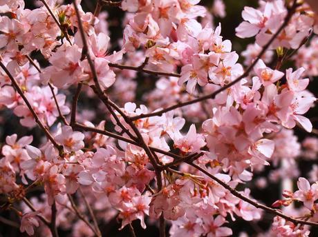 Flor cerezo - sakura