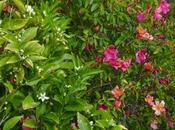 "Rosa ""Mutabilis"": mariposas revoloteando"