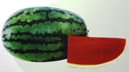jual benih buah semangka