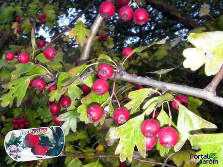 Arbustos rboles frutales y ornamentales paperblog for Arbustos ornamentales