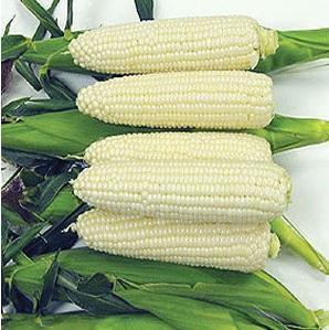 jual benih jagung