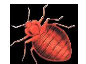 Cómo podemos detectar lidiar plaga chinches