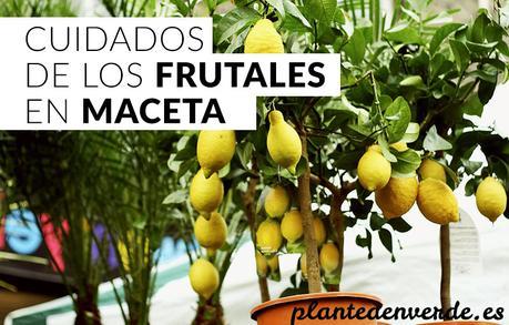 Cuidados de los rboles frutales en maceta paperblog for Arboles frutales en maceta