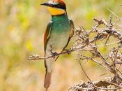 European bee-eater/Merops apiaster/Abejaruco europeo