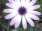Plantas flores Dimorfoteca