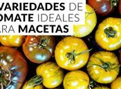 Variedades tomate ideales para macetas
