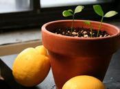 Cultiva limoneros desde semillas