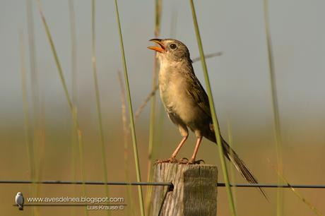 Coludo grande (Wedge-tailed grass-finch) Emberizoides herbicola