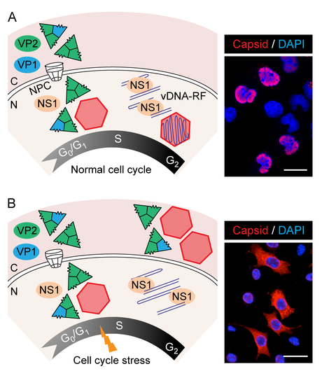 Ciclo celular para el ciclo viral: El Virus Diminuto de Ratón (MVM)