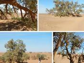 Tamariscos gigantes desierto Sahara (Marruecos)